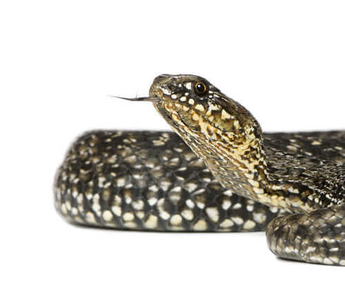 Cobra ferradura (Hemorrhois hippocrepis)
