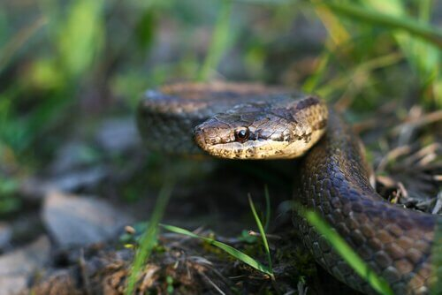 Cobra lisa austríaca (Coronella austriaca)