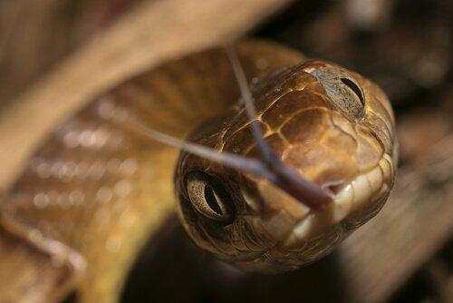 Cobra-marrom