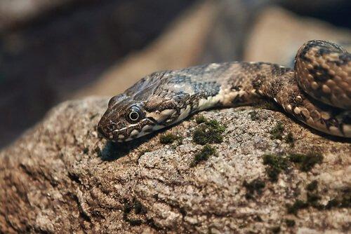 Tipos de cobras na Espanha