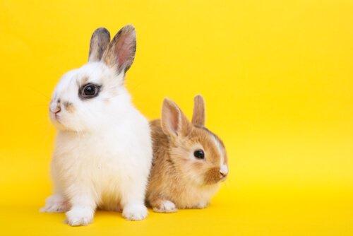 Características do coelho toy: saiba como cuidar dele
