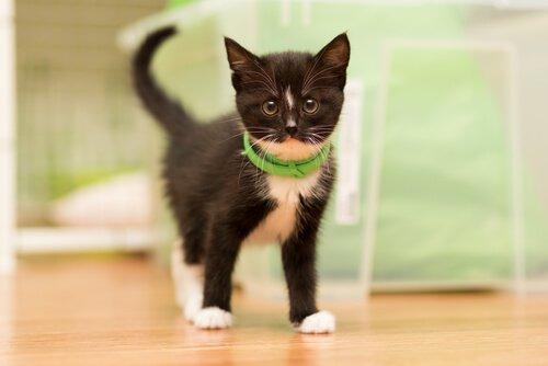 gato preto filhote