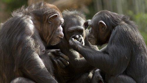 É possível conversar com macacos?