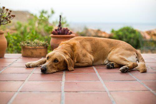 Vômitos marrons em cães: tudo que você precisa saber