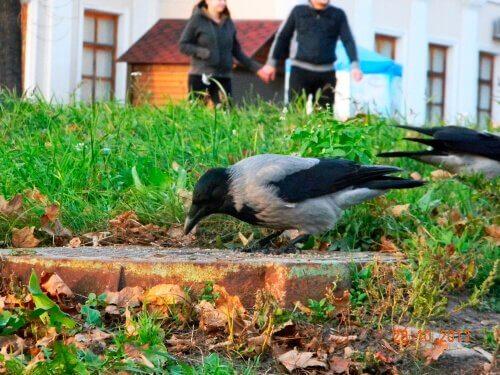 Corvo como animal de estimação: completa loucura?