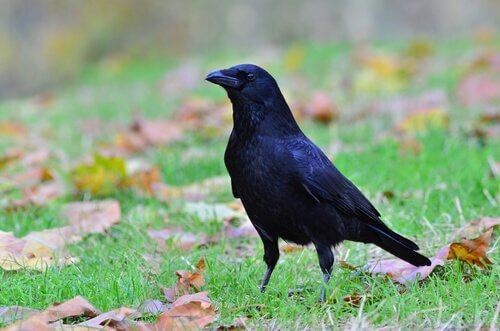 corvo como animal de estimação