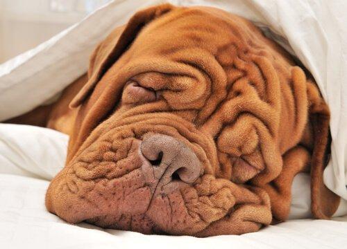 cuidados com cães com rugas