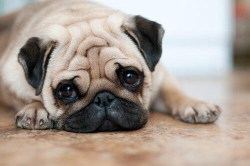 4 cuidados com cães com rugas