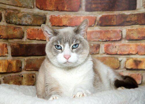 A demência senil em gatos