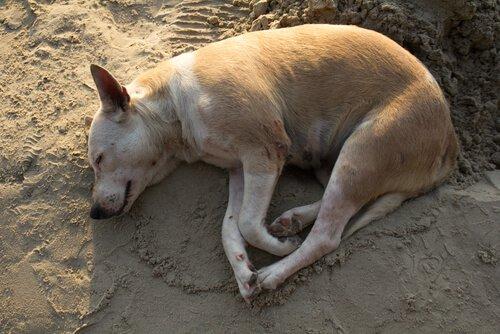 Cachorro com dermatite deitado na terra
