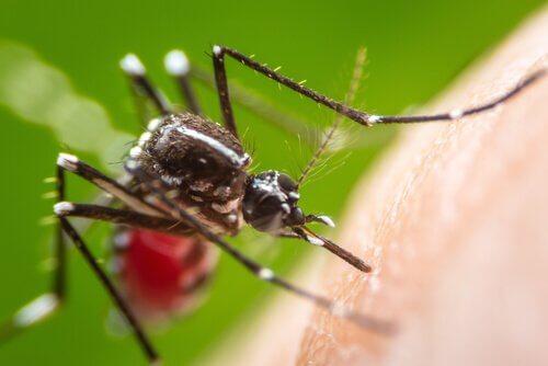 Picadas de mosquito da dengue