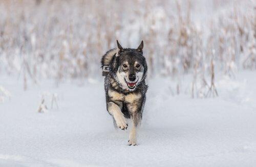 Elkhound: um cão de caça