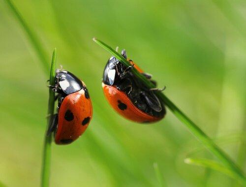 espécies de besouros: joaninha
