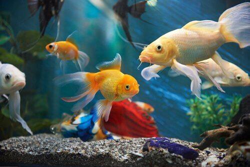 respiração branquial: típica dos peixes