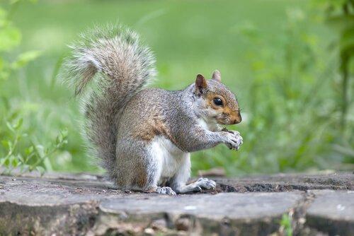 Esquilo cinzento: conheça todas as suas características