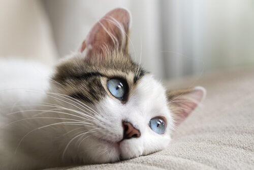 Gato de olhos azuis