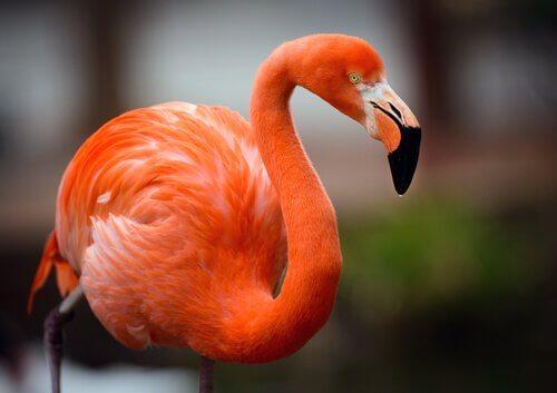 Flamingo: saiba mais sobre este curioso pássaro