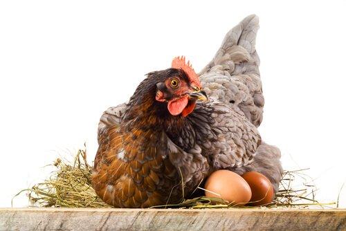Por que as galinhas comem seus ovos?
