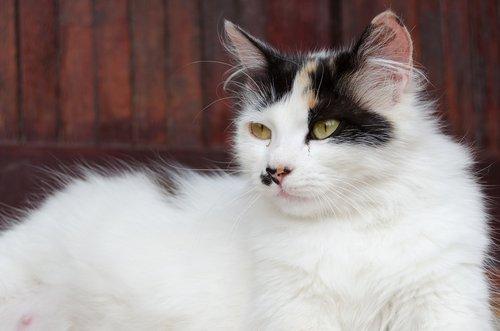 Gato branco e preto