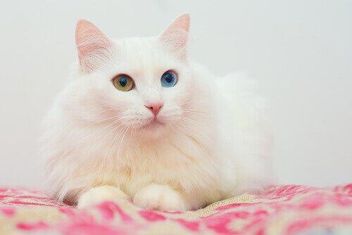 Gato angorá com heterocromia (olhos com cores diferentes)