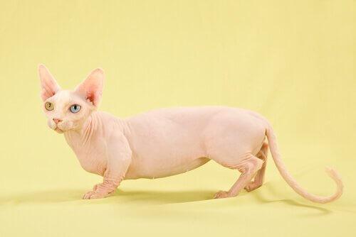 Gato Bambino: careca e com pernas curtas
