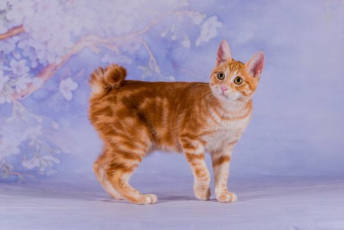 gato bobtail japonês
