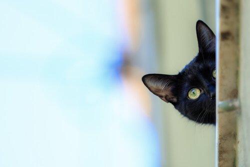 Cuidados com o gato bombaim