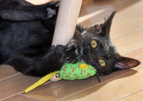 Personalidade do gato bombaim