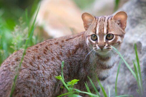 gato Ceylon