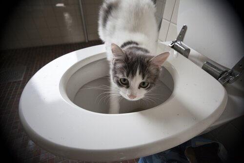 gato no vaso sanitário