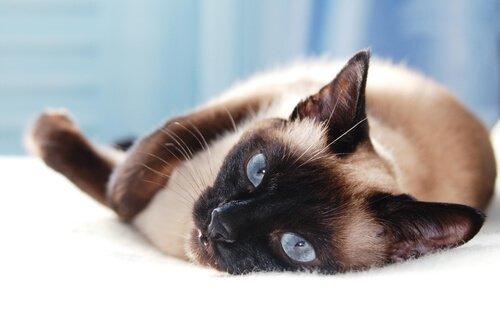 5 raças de gatos asiáticos