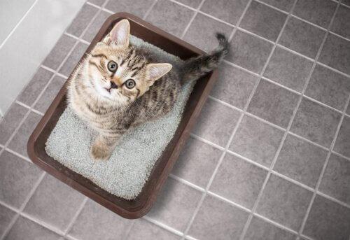 ensinar um gato a usar a caixa de areia