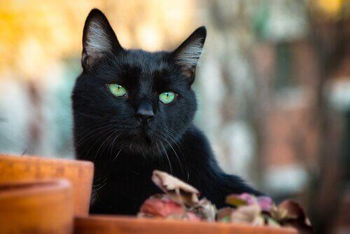 Gato preto de olhos verdes
