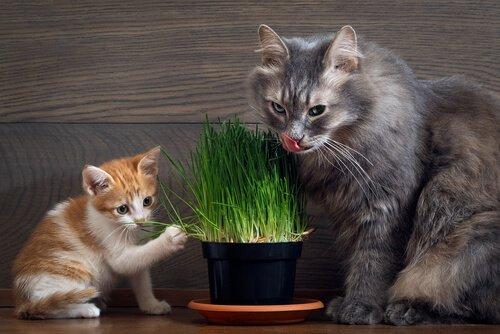 Gatos comendo catnip