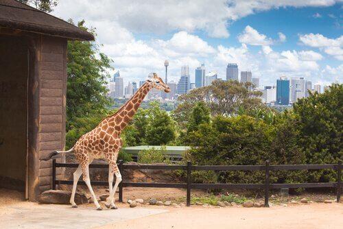 Qual é a altura de uma girafa?