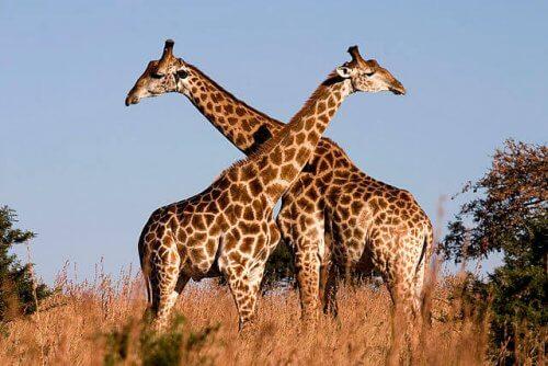 espécies de girafas