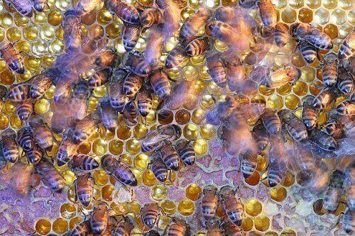 Abelhas produzindo mel