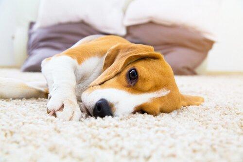 Infecção do trato urinário em cães: causas e tratamento