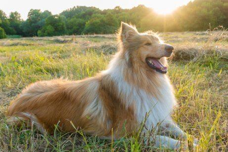 Filme Lassie