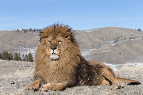 Leão do Atlas