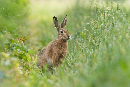 6 espécies de lebres, animais semelhantes aos coelhos