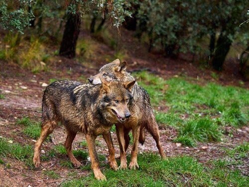 Conheça o lobo ibérico