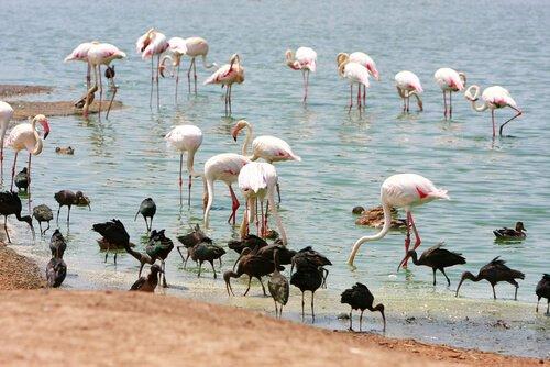 flamingos em um lago