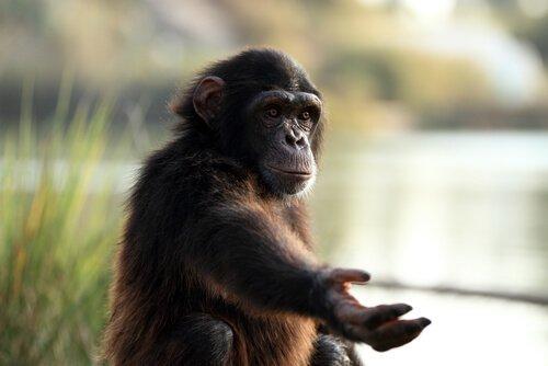 Filhote de chimpanzé