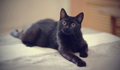 O mito do gato preto