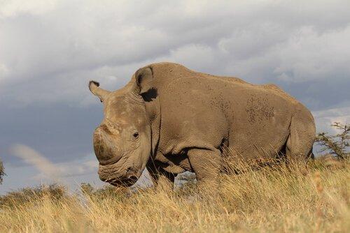 Morre o último rinoceronte branco do Norte macho