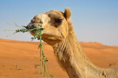 A curiosa alimentação do camelo