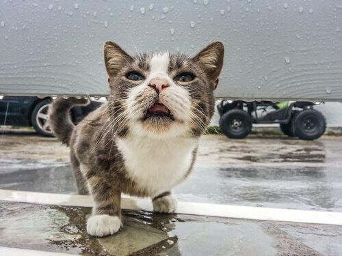 gato com febre