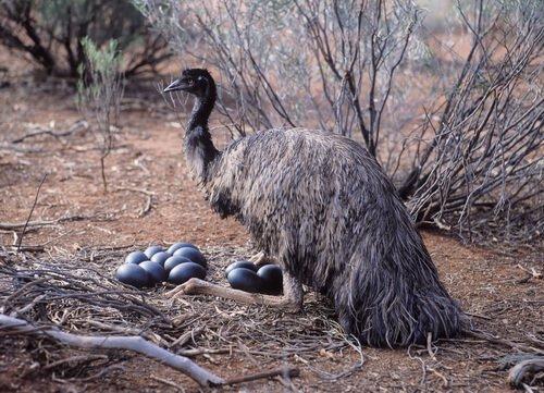 Emu com seus ovos