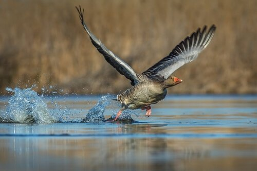 Ganso voando sobre a água